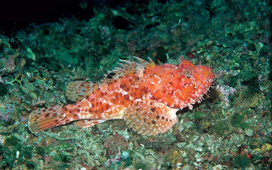 Škrpina (Scorpaena scrofa) Korcula-sea-life-red-fish